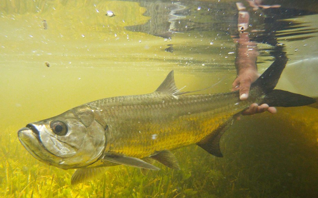 Fly fishing for juvenile tarpon tail fly fishing magazine for Fly fishing for tarpon