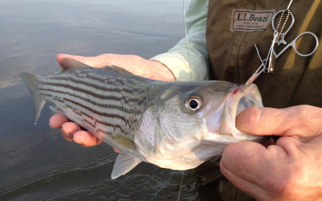 Fly fishing for striped bass tail fly fishing magazine for Bass fly fishing setup