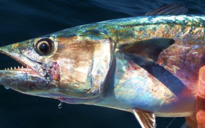 Tail Tip – Leaders for toothy fish