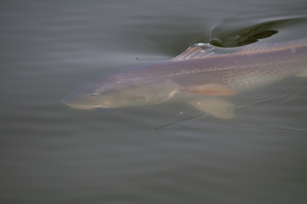 saltwater fly fishing magazine - redfish on the fly