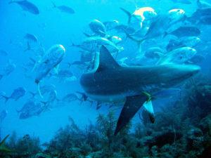 jacks following shark - permit following shark