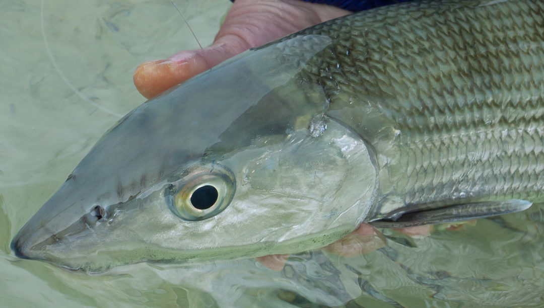 North andros from top to bottom part 2 tail fly for Saltwater fishing magazines